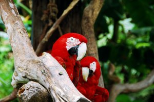 SS-52475926-red-macaws