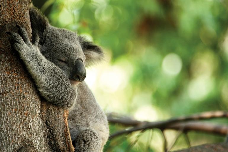 Koala-Sleeping-CC