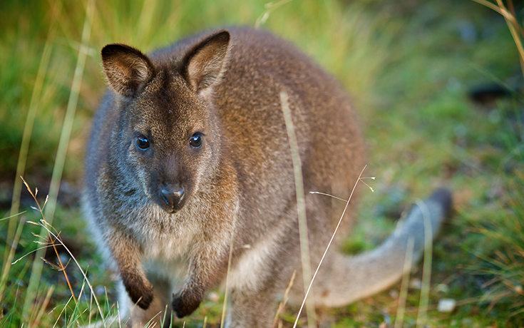 Australia_kangaroo_4