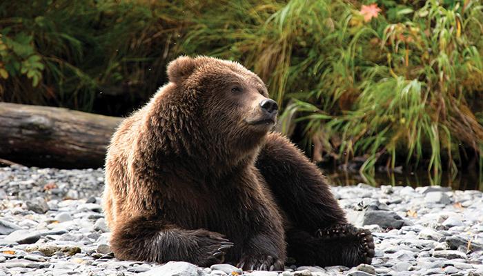 Alaska_bear