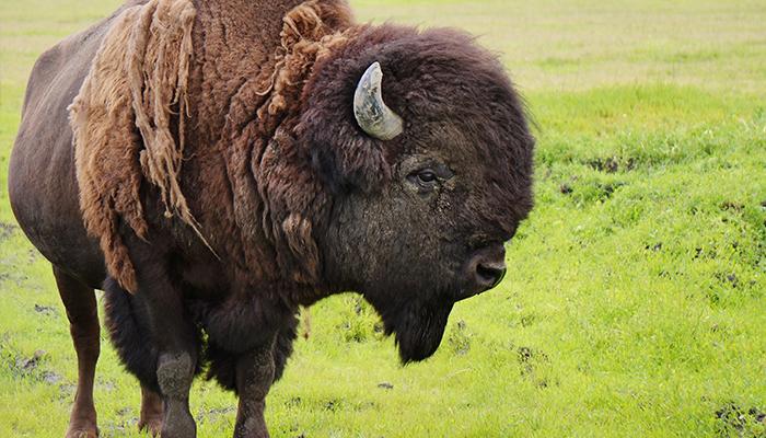Alaska_bison