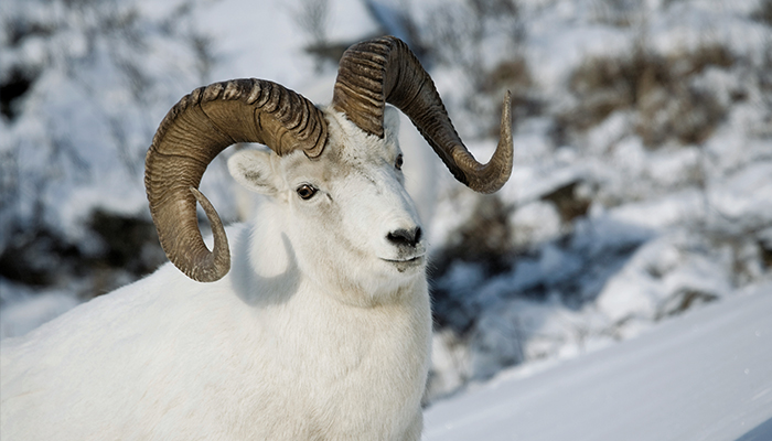 Alaska_dallsheep