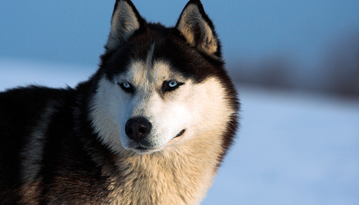 Alaska_wolf